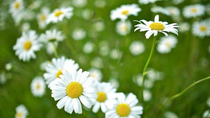 4-april-daisies.jpg